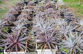 stock photo of bromeliad  - the Plant Bromeliad Latin name Aechmea fasciata - JPG