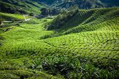 image of cameron highland  - Green tea plantation Cameron highlands Malaysia Asia - JPG