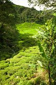 picture of cameron highland  - Green tea plantation Cameron highlands Malaysia Asia - JPG