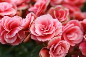 image of begonias  - pink begonia flower blooming in the garden - JPG