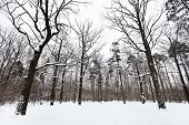 stock photo of snow forest  - snow covered oaks and pine trees on glade of winter forest - JPG