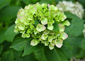 picture of hydrangea  - hydrangea flowers on a personal plot flora