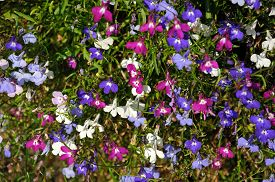 pic of lobelia  - Mixed white pink and blue lobelia flowers - JPG