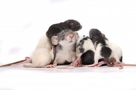 stock photo of rats  - Group of small cute baby domesticated pet rats climbing over eachother and the mother rat on a white background - JPG