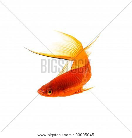 Beautiful Orange Sword-tail Fish Isolated on White
