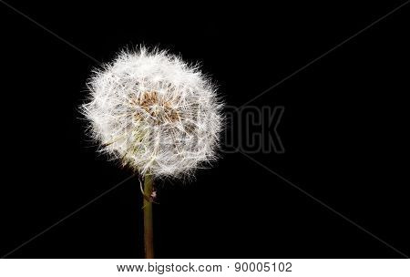 Dandelion Seed Head Closeup: Exquisite Detail Of Taraxacum Officinale, Fresh Specimen. Sharp From Fr