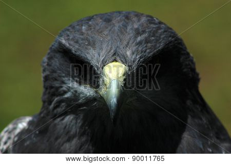 Face of a Buzzard Eagle