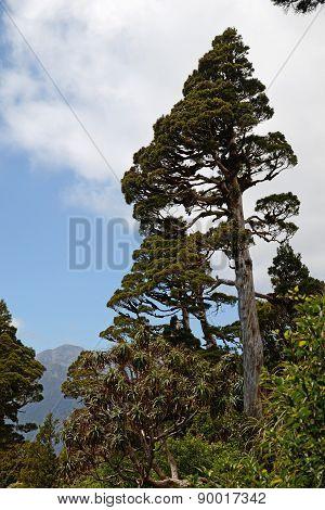 New Zealand Cedar