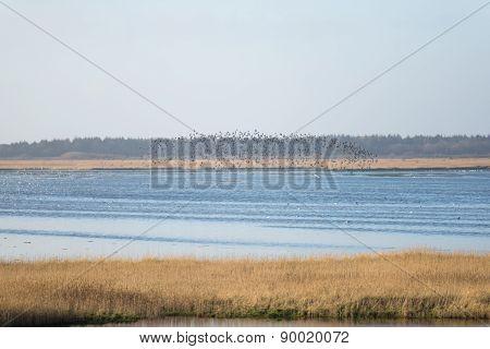 Flying Birds Of Dunlin, Calidris Alpina