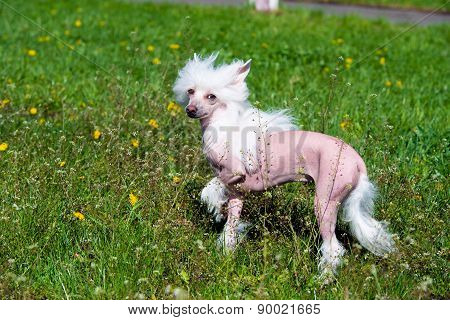 Chinese crested dog on the grass.