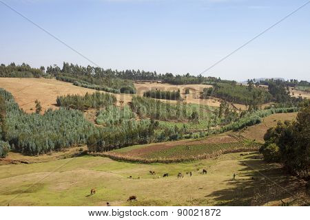livestock and potato field in mountains of Ethiopia