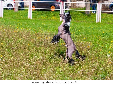 Chinese crested dog upright.