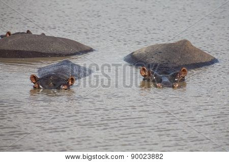 Family Of Hippos Resting In Water On A Hot Day