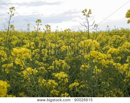 A Field Of Yellow Flowers With The Sky