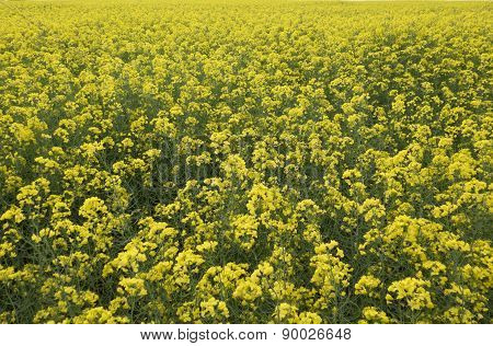 Field Of Yellow Flowers Close Up