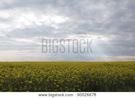 Rapeseed Field Under Thunderclouds