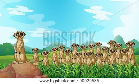 Group of meerkats standing in the field