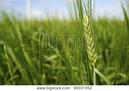 Close-up of an ear in a cereal field.