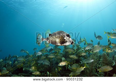 Trunkfish seascape