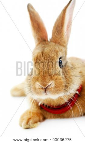 Portrait of red rabbit isolated on white