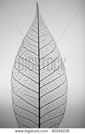 Skeleton leaf on grey background, close up