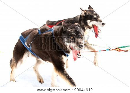 Huskies running in a team in the spring