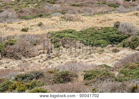 Wild Roe Deer Rest In A Bush At Witse-oreum In Hallasan Mountain