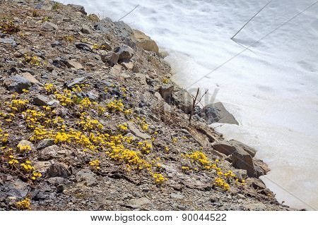 Flowering Foalfoot