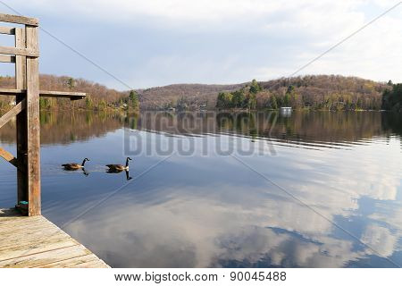 Canadian Geese By The Dock