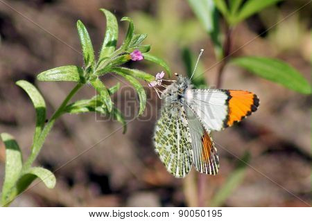 Pacific Orangetip Butterfly - Anthocharis sara