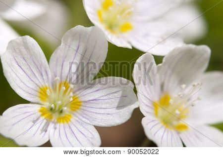 Wood Sorrel (oxalis) Flowers