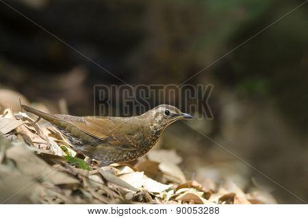 Beautiful Bird (siberian Thrush) Find Some Food On Ground