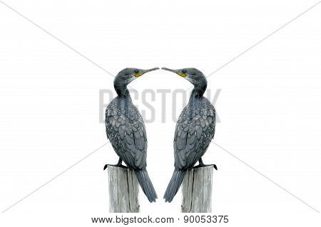 Fineart Photography ,double Bird (little Cormorant) Perching On