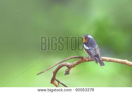 Mugimaki Flycatcher Bird (ficedula Mugimaki), Perching On The Be