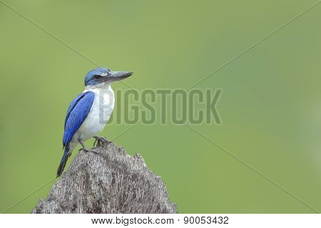 Collared Kingfisher Beautiful Blue Bird Perching On Log