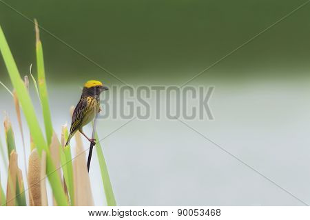 Beautiful Bird (streaked Weaver) Perching On Grass