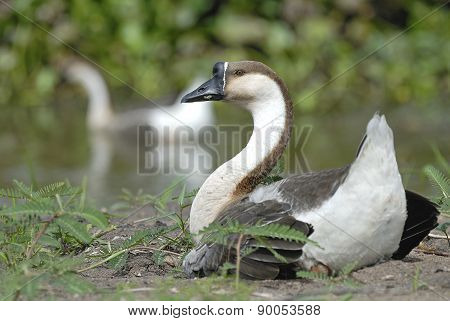 Beautiful Goose Relax Near Pond