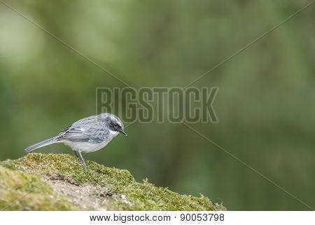 Beautiful Bird (grey Bushchat) Perching On Rock