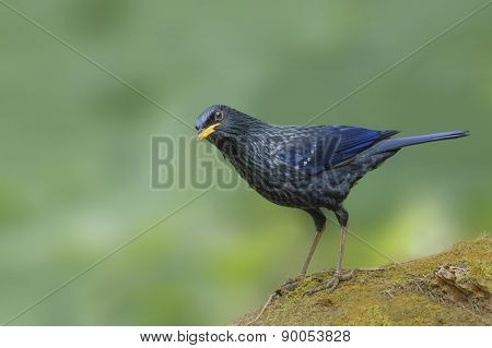 Beautiful Blue Whistling Thrush Bird Perching On The Rock
