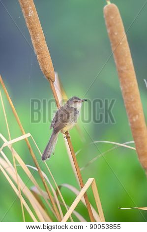 Bird (plain Prinia) Perching On Beautiful Branch