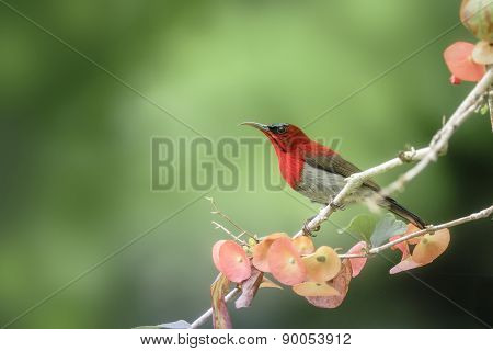 Beautiful Red Bird (crimson Sunbird) Perching On Branch