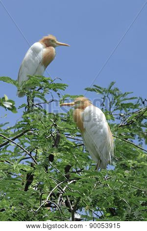 Bird (cattle Egret) Perching On Top Of Tree