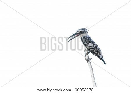Beautiful Bird (pied Kingfisher) Perching On Timber