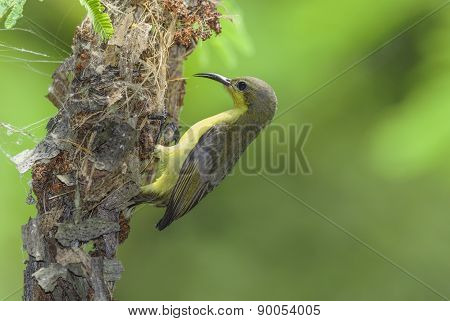 Beautiful Bird Olive-backed sunbird nesting on tree