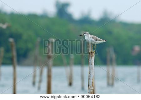 Bird And River (nordmann's Greenshank) Perching On Pole For Back