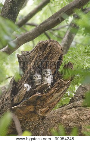 Spotted Owlet Beautiful Bird In Nest
