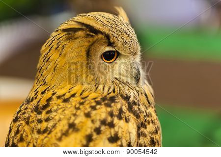 European Eagle Owl Or Eurasian Eagle Owl Watching, Closeup