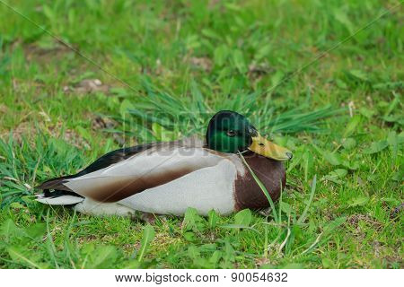 Adult Male Mallard Wild Duck Or Anas Platyrhynchos On Green Grass