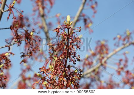 Red Maple leaf flowers and seed pods in early spring