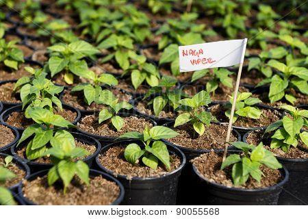 Hot Pepper Saplings In A Greenhouse